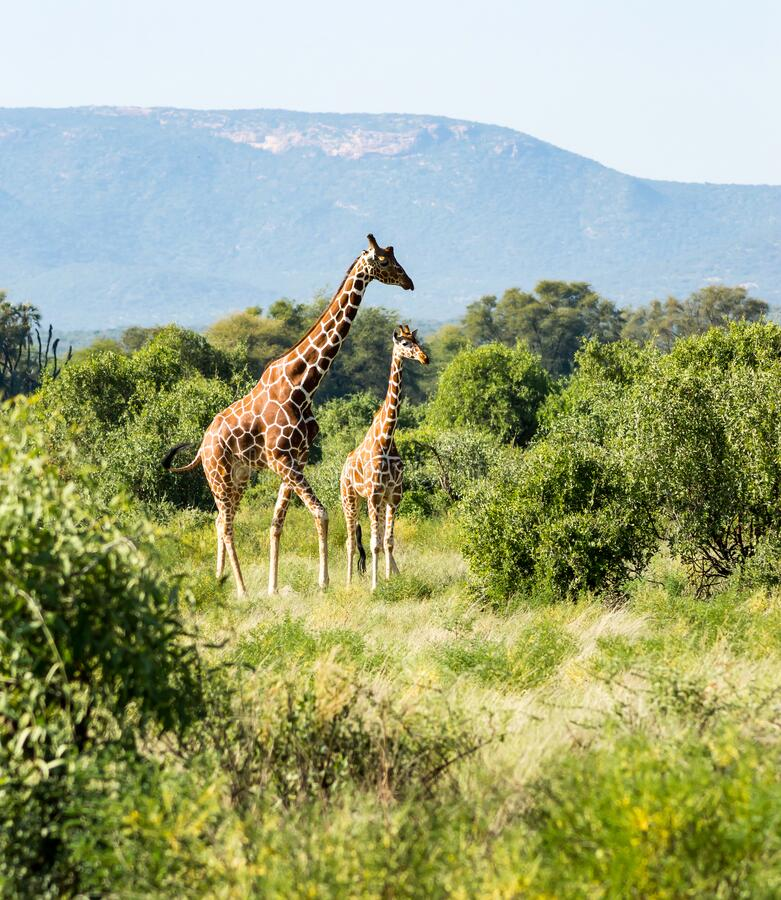 Giraffe überquert den Weg in Samburu stockfoto