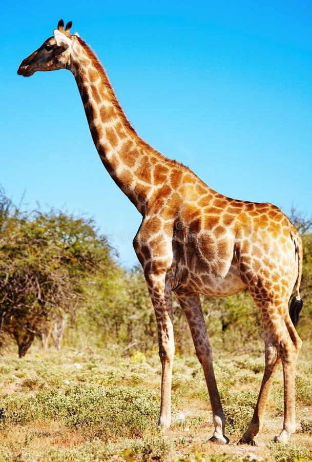 giraffe άγρια περιοχές στοκ φωτογραφία με δικαίωμα ελεύθερης χρήσης