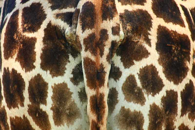 giraffe άκρης στοκ εικόνες με δικαίωμα ελεύθερης χρήσης