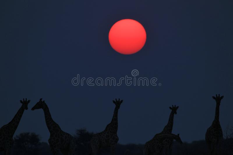 Giraffe - αφρικανικό υπόβαθρο άγριας φύσης - κάτω από έναν κόκκινο εικονικό ήλιο στοκ εικόνα με δικαίωμα ελεύθερης χρήσης