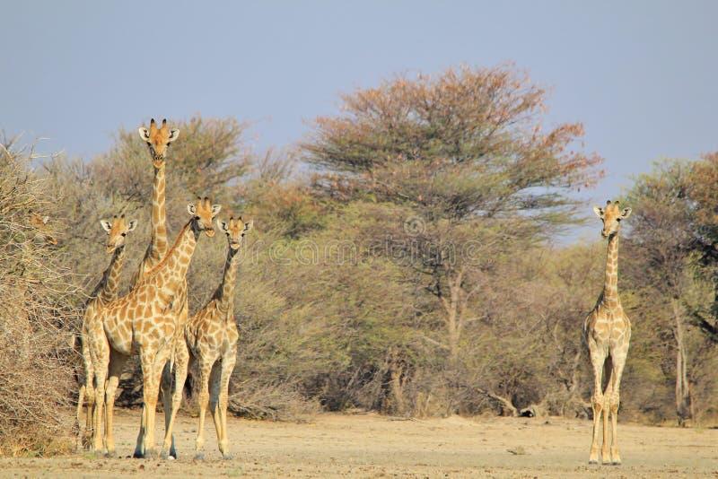 Giraffe - αφρικανικό υπόβαθρο άγριας φύσης - κοπάδι των σχεδίων στοκ εικόνες