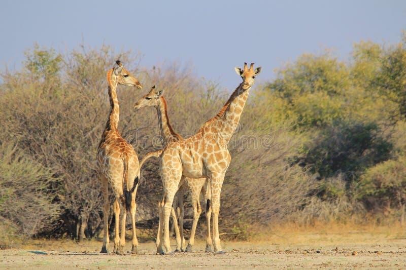 Giraffe - αφρικανικό υπόβαθρο άγριας φύσης - που ψάχνει τα σχέδια στοκ εικόνα