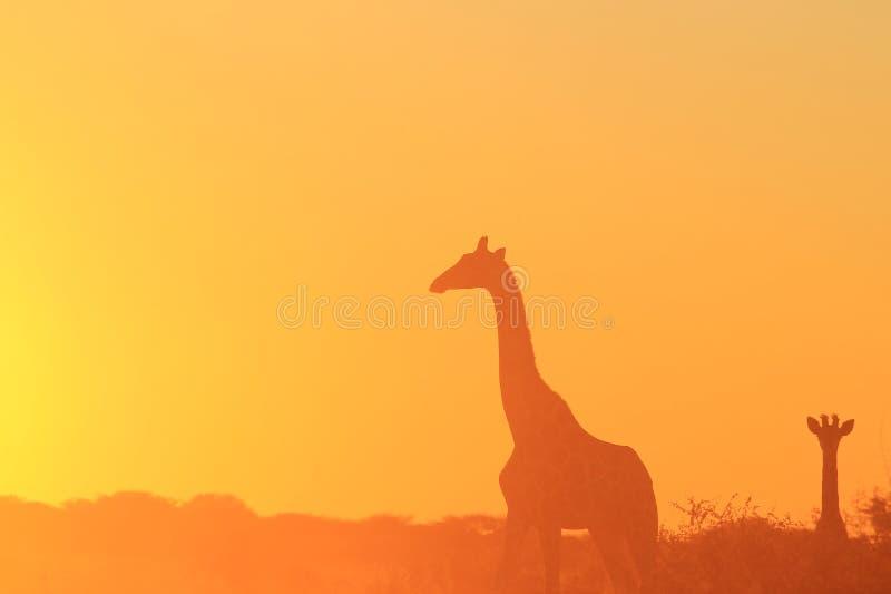 Giraffe - αφρικανικό υπόβαθρο άγριας φύσης - χρυσή σκιαγραφία στοκ εικόνα