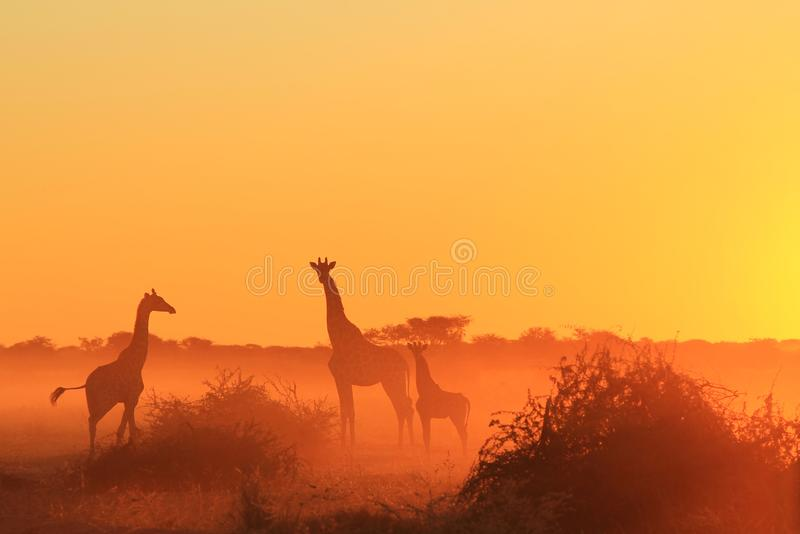 Giraffe - αφρικανικό υπόβαθρο άγριας φύσης - χρυσή σκόνη ηλιοβασιλέματος στοκ εικόνες