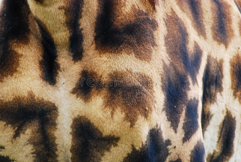 Giraffe γούνα στοκ φωτογραφίες