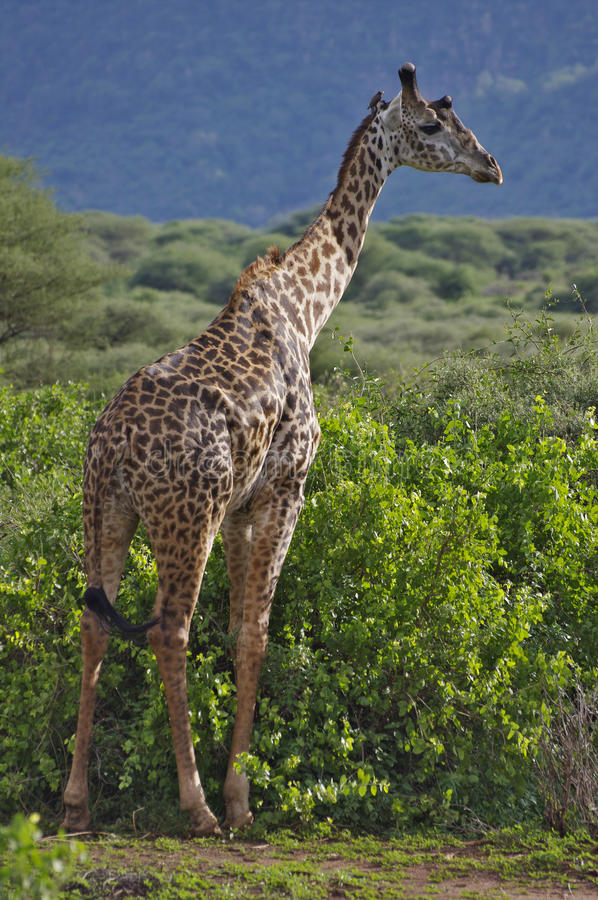 giraffe εθνικό πάρκο manyara λιμνών στοκ εικόνα
