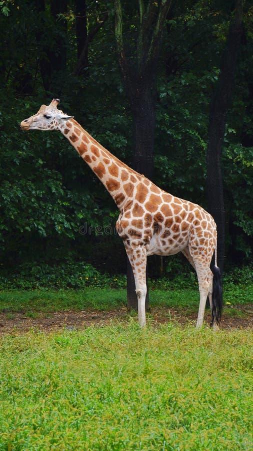 Giraffe ζωολογικών κήπων Bronx όμορφο ενήλικο πολύ στοκ εικόνες