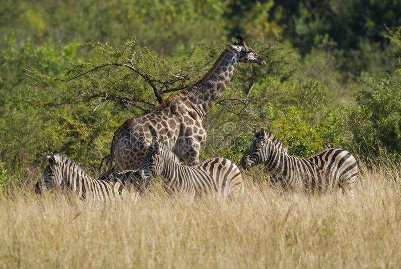 Giraffe και Zebras διάσημα βουνά kanonkop της Αφρικής κοντά στο γραφικό αμπελώνα νότιων άνοιξη στοκ φωτογραφία με δικαίωμα ελεύθερης χρήσης
