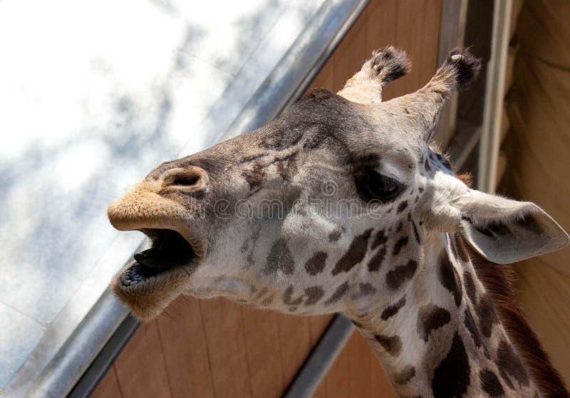 Giraffe κλήση στοκ φωτογραφίες με δικαίωμα ελεύθερης χρήσης
