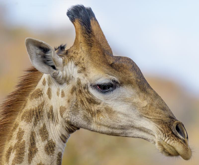 Giraffe μάτια σχεδιαγράμματος στοκ εικόνα με δικαίωμα ελεύθερης χρήσης