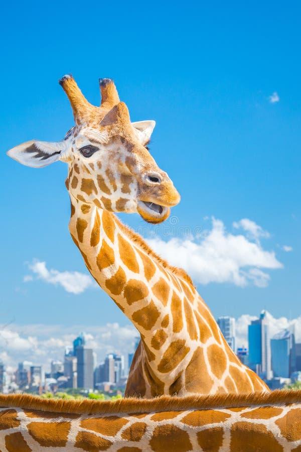 Giraffe με την άποψη πόλεων στοκ εικόνες