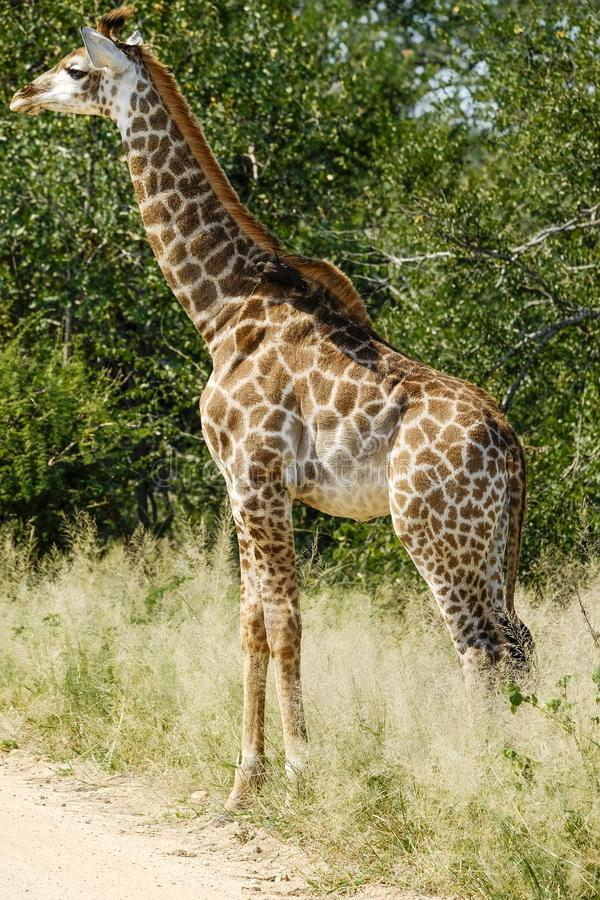 Giraffe μωρών στις άγρια περιοχές στοκ φωτογραφίες