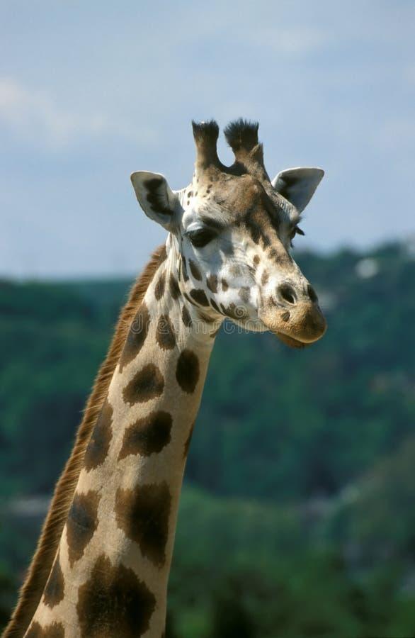 giraffe πορτρέτο στοκ φωτογραφίες