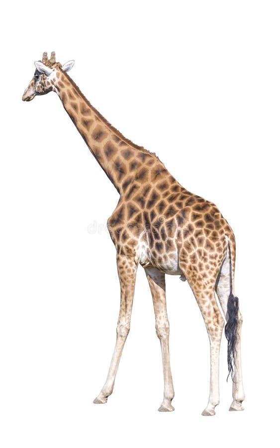Giraffe που απομονώνεται πίσω στοκ φωτογραφίες