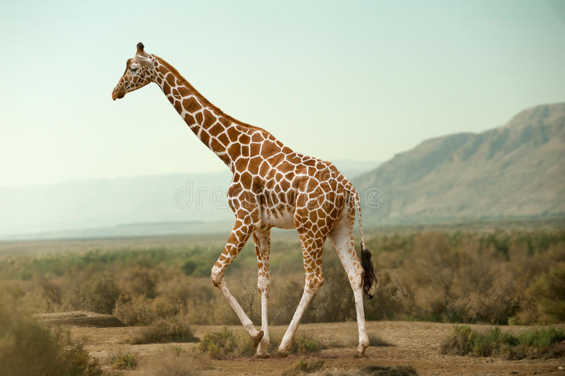 Giraffe που περπατά στην έρημο στοκ εικόνα με δικαίωμα ελεύθερης χρήσης