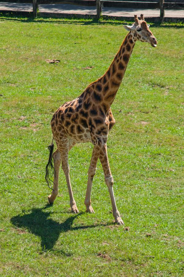 Giraffe που τρέχει μια καυτή ημέρα στοκ εικόνα με δικαίωμα ελεύθερης χρήσης