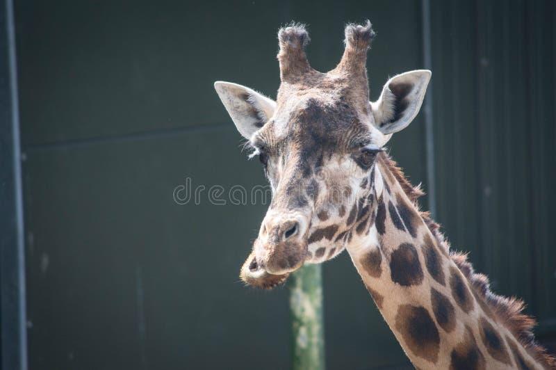Giraffe που τρώει με ένα αστείο πρόσωπο στοκ εικόνα