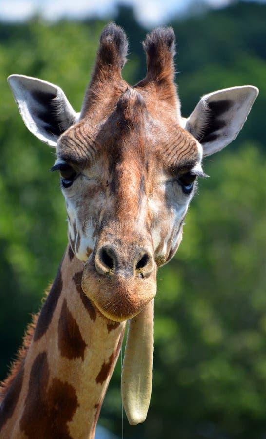 Giraffe στενός ο επάνω στοκ φωτογραφίες