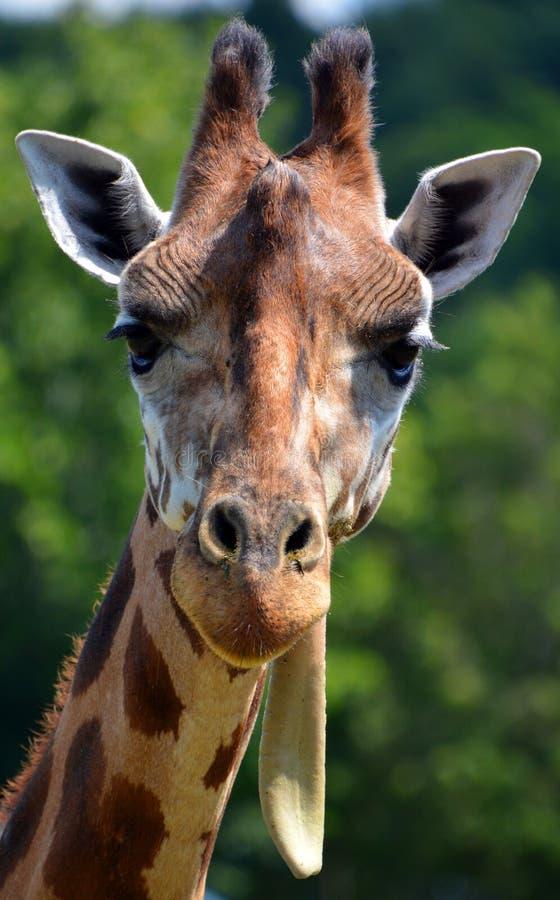 Giraffe στενός ο επάνω στοκ εικόνα με δικαίωμα ελεύθερης χρήσης