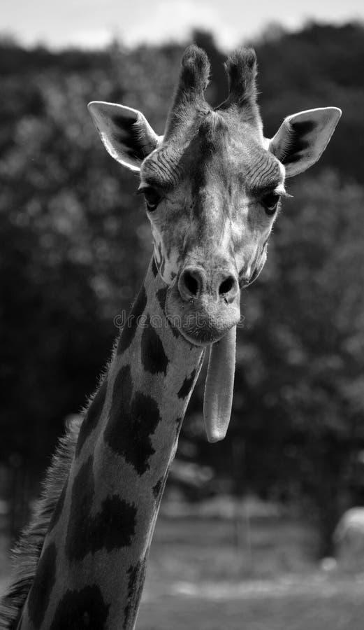 Giraffe στενός ο επάνω στοκ εικόνα