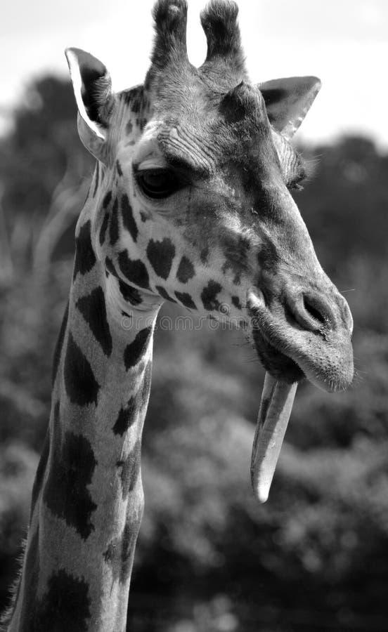 Giraffe στενός ο επάνω στοκ εικόνες