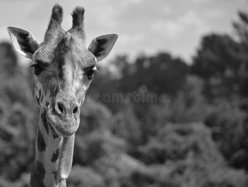Giraffe στενός ο επάνω στοκ φωτογραφίες με δικαίωμα ελεύθερης χρήσης