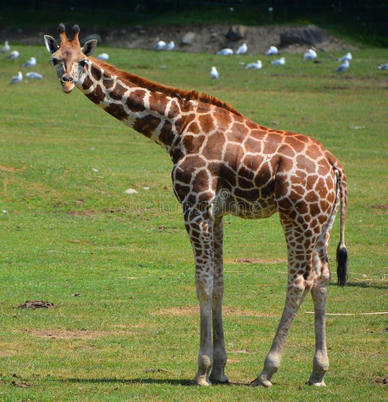 Giraffe στενός ο επάνω στοκ φωτογραφία με δικαίωμα ελεύθερης χρήσης