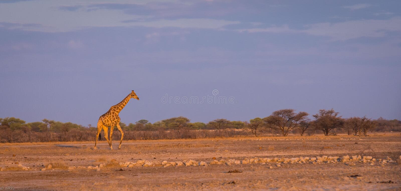 Giraffe στην της Ναμίμπια σαβάνα στο ηλιοβασίλεμα στοκ φωτογραφία με δικαίωμα ελεύθερης χρήσης