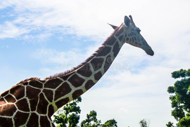 Giraffe στο ζωικό άδυτο σαφάρι στο νησί Calawit στοκ εικόνες