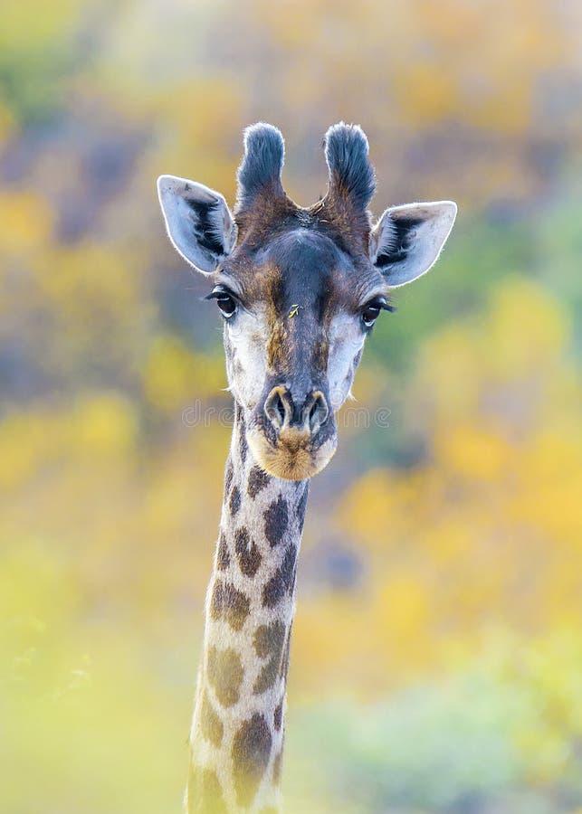 Giraffe σχεδιάγραμμα στοκ φωτογραφία με δικαίωμα ελεύθερης χρήσης