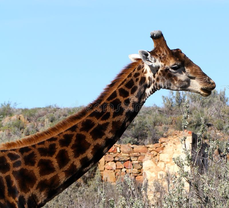 giraffe της Αφρικής νότος στοκ εικόνες με δικαίωμα ελεύθερης χρήσης