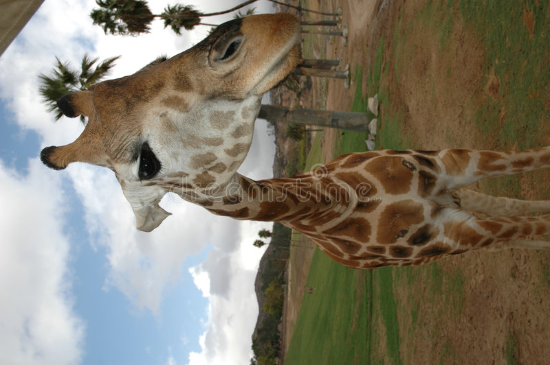 giraffe τροχόσπιτων στοκ εικόνες