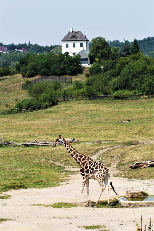Giraffe ψηλές πράσινες άγρια περιοχές ζωολογικών κήπων στοκ φωτογραφία