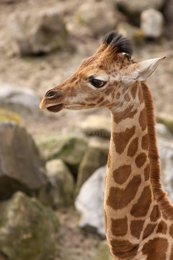 Giraffe младенца стоковые изображения rf