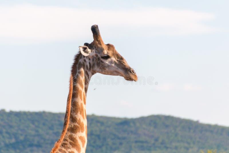 giraffe одичалый стоковые фото
