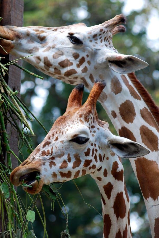 giraffe пася стоковое изображение rf