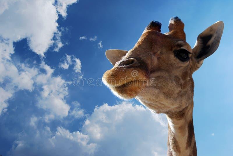 Close up giraffe stock photos