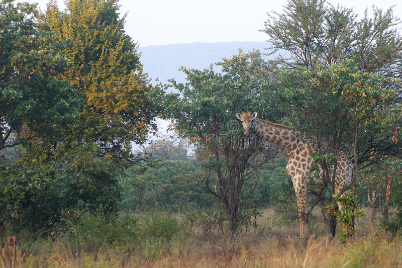 Download Giraffe stock image. Image of staring, trees, spotted, grass - 106787