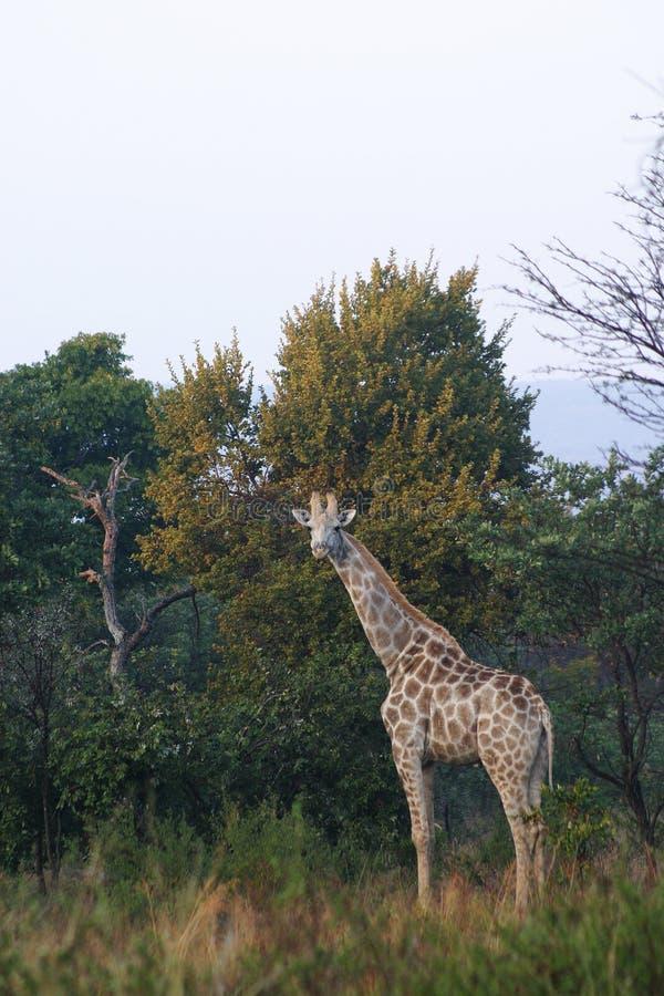 Download Giraffe imagem de stock. Imagem de watching, folhas, feriado - 106789