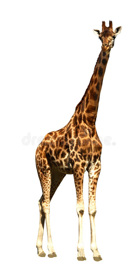 Free Giraffe Stock Photo - 10892920