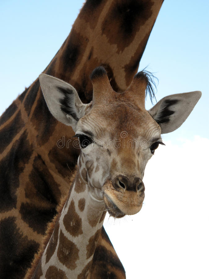 Free Giraffe Stock Photography - 10892972