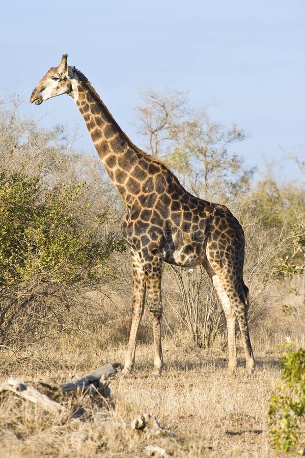 Giraffe photos stock