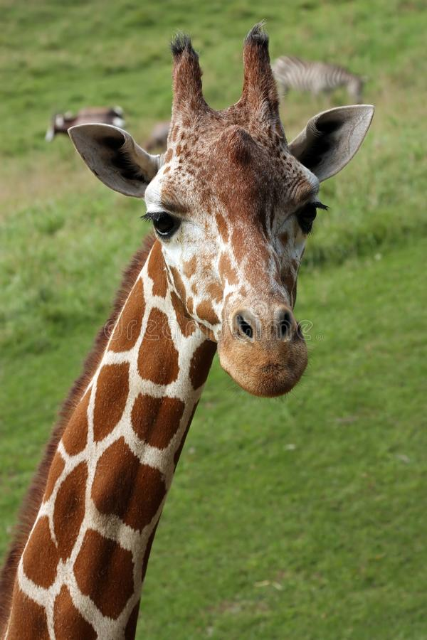 Download Giraffe stock image. Image of mammal, camelopardalis - 11166507