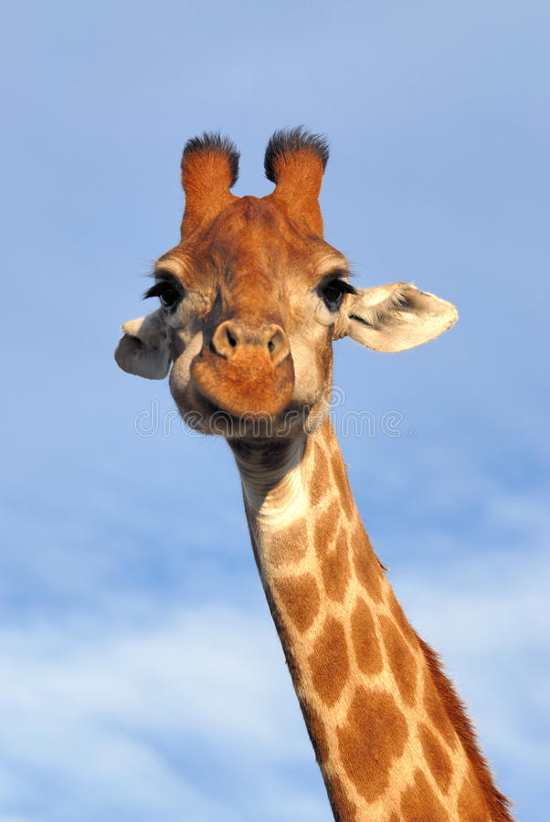 Download Giraffe stock photo. Image of african, ears, tongue, wildlife - 11176734