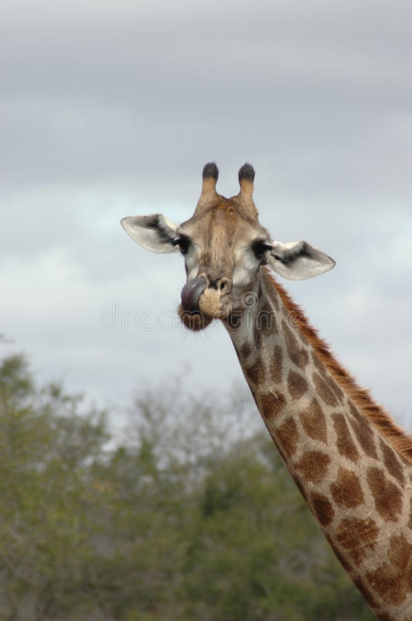 Download Giraffe stock photo. Image of comical, tongue, toed, brown - 11439386