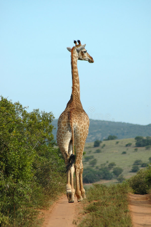 Download Giraffe Royalty Free Stock Images - Image: 1174329