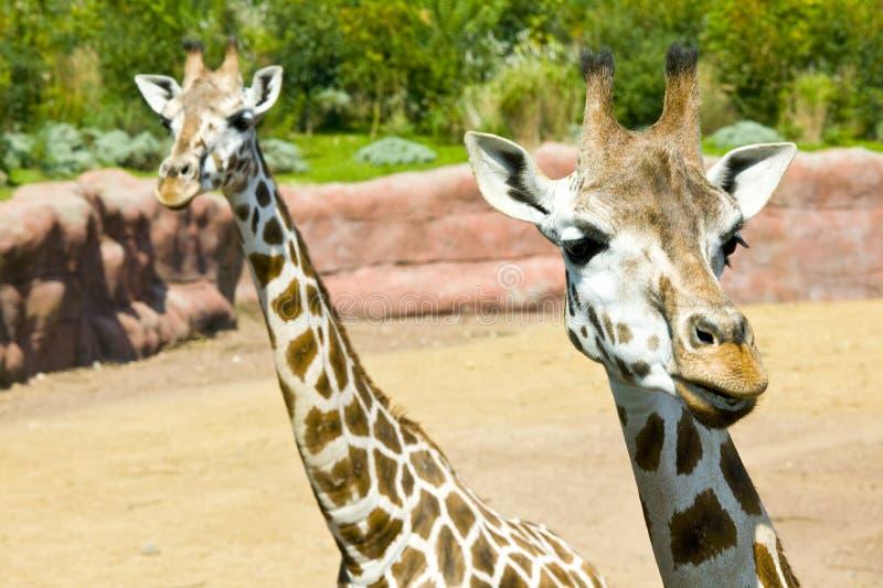 Download Giraffe stockbild. Bild von dschungel, giraffe, wald - 12200187