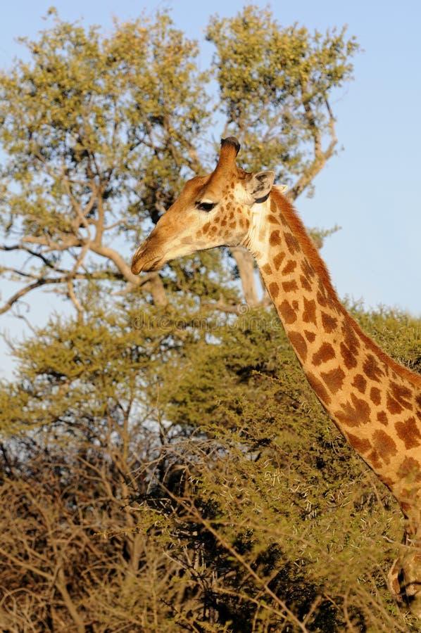 Download Giraffe στοκ εικόνα. εικόνα από φωτογραφία, serengeti - 13186721