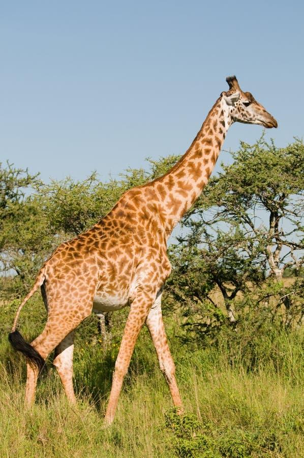 Free Giraffe Stock Image - 13657271