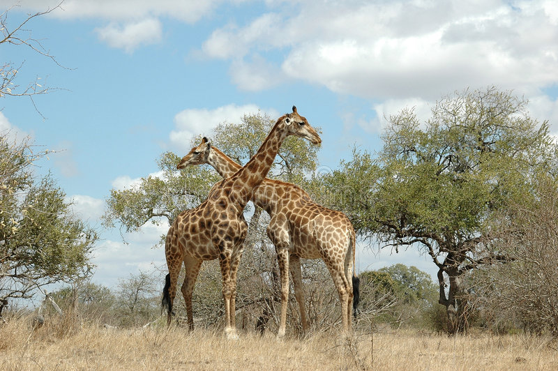 Giraffe. At Kruger National park, South Africa royalty free stock images